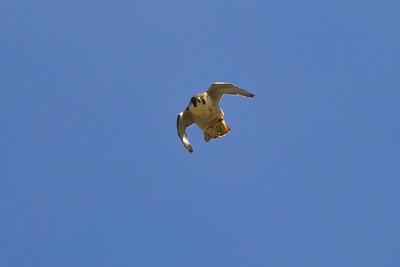 Perrigrine falcon