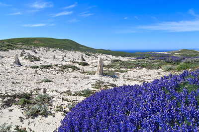 Vibrant lupine surrounds the Caliche Forest during the spring months.