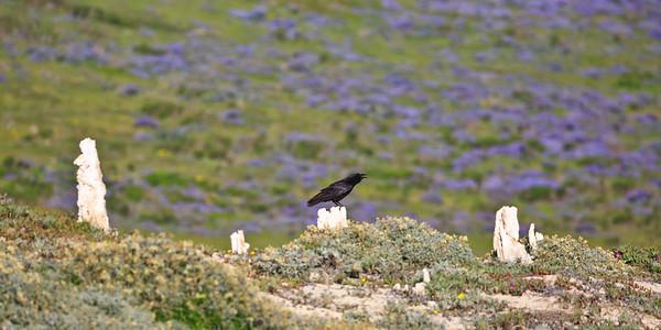 A raven sits atop Caliche