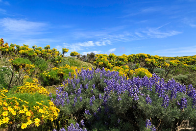 Vibrant coreopsis and bush lupine lines the trail leading from Nidever Canyon to the Campground