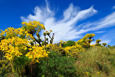 Vibrant coreopsis lines the trail leading from Nidever Canyon to the Campground