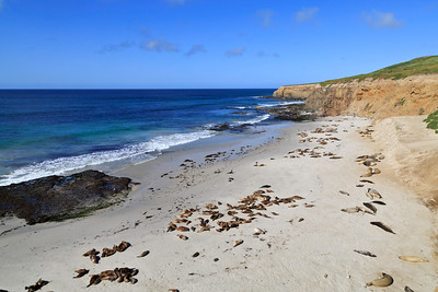 Northern Elephant Seals and California Sea Lions are often seen hauled out on the beaches