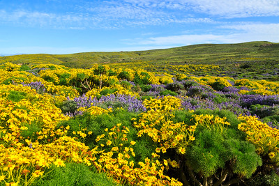 Coreopsis and lupine