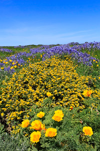 Deerweed, poppies, and lupine