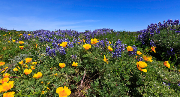 Bush lupine and California poppies