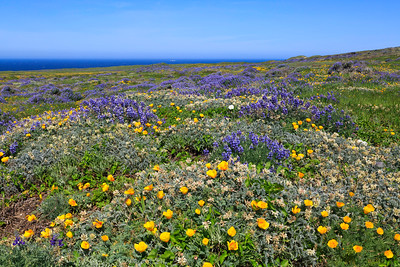 Impressive fields of wildflowers, including bush lupine, California poppies, and locoweed create a patchwork of color along the trail leading to Point Bennett.