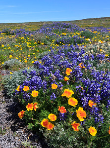 Large filds of wildflowers, including California poppies, Bush lupine, locoweed, island morning glory, and others create a kalideoscope of color along the trail leading to Point Bennett.