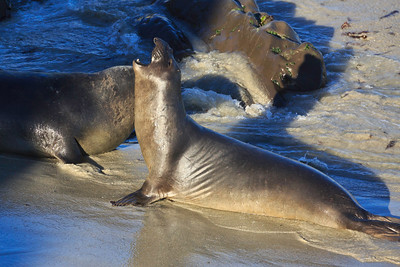 Juvenile  Northern elephant seals