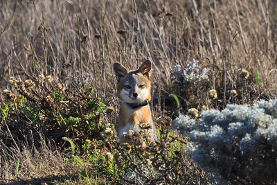 San Miguel Island fox