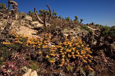 Deerweed (Lotus dendroideus) at Harris Point