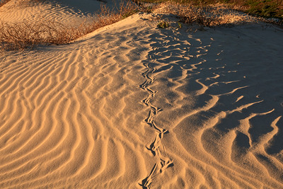 Raven tracks in dunes above Simonton Cove
