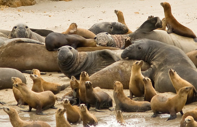 California sea lions and Northern elephant seals, San Miguel Island