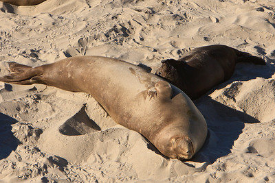 Northern elephant seal cow and pup