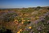 California poppies and succulent lupine at west end of San Miguel Island