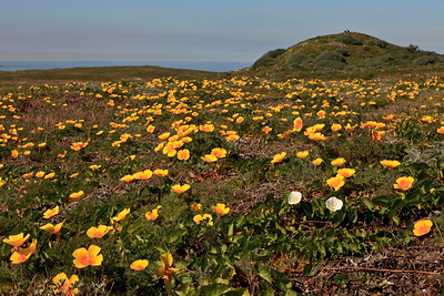California poppies and Island morning glory