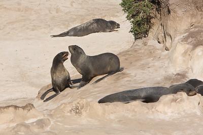Northern fur seals