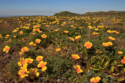 California poppies near the dry lake bed at the west end of San Miguel Island