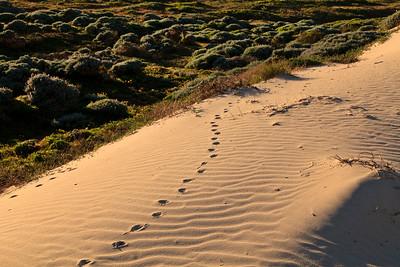Fox tracks in dunes above Simonton Cove