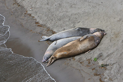 Elephant seals at Elephant Seal Cove, Santa Barbara Island