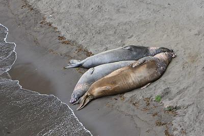 Elephant seals at Elephant Seal Cove, Santa Barbara Island