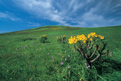A colorful display of giant coreopsis on the slopes of Signal Peak