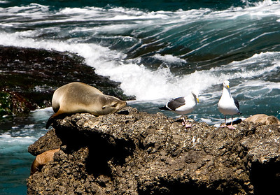 California sea lion and Western gulls, Landing Cove