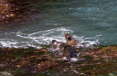 California sea lions in Landing Cove