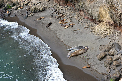 Elephant seals and California sea lions - Elephant Seal Cove