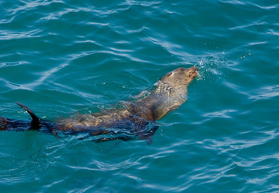 California Sea Lion in Landing Cove