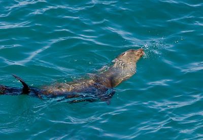 California Sea Lion in Landing Cove