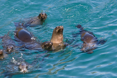 California sea lions in Landing Cove