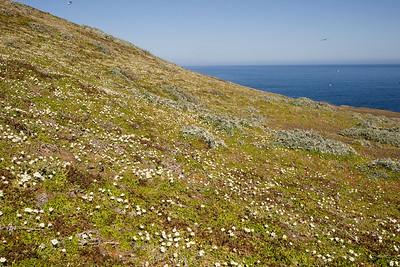 Santa Barbara Island cream cups on a slope on North Peak