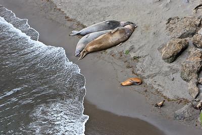 Elephant seals and California sea lions - Elephant Seal Cove