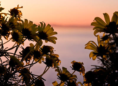 Coreopsis at sunrise above Landing Cove
