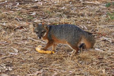 SCI fox