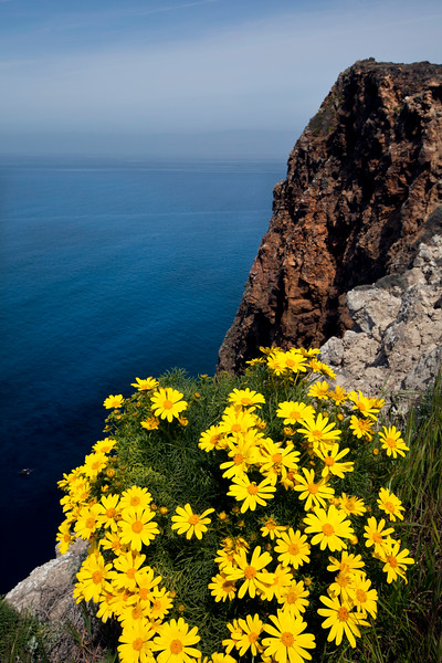Giant coreopsis at Cavern Point