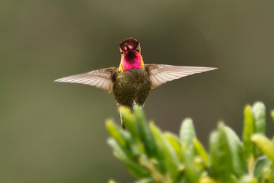 Anna's Hummingbird, Prisoner's Harbor