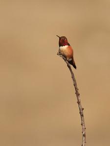 Allen's humingbird