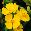 Northern island bush poppy