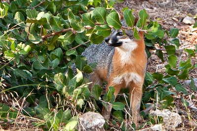 Santa Cruz Island fox  (Urocyon littoralis)