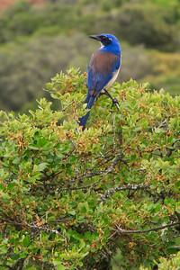 Santa Cruz Island scrub jay