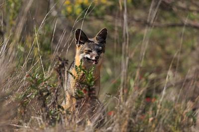 Santa Rosa Island fox