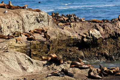California sea lion (Zalophus californianus) at Carrington Point