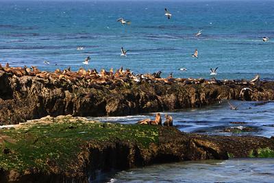 California sea lion (Zalophus californianus) at Carrington Point