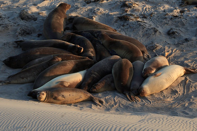 Northern elephant seals (Mirounga angustirostris) hauled out on the beach and dunes at China Camp.