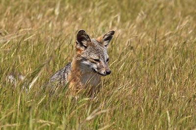 Santa Rosa Island Fox (Urocyon littoralis santarosae)