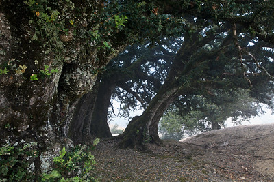 Island Oaks on Black Mountain