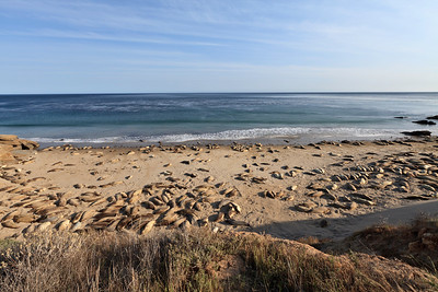 Northern Elephant Seals (Mirounga angustirostris) at Johnson's Lee