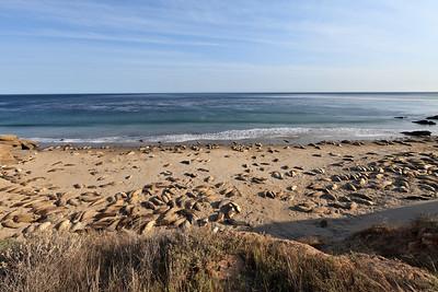 Northern Elephant Seals (Mirounga angustirostris) at Johnson's Lee