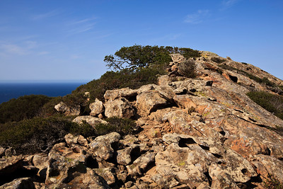 Shaped by the wind, an oak conforms with the contours of a windswept peak at South Point